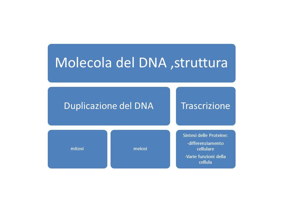 Molecola del DNA,struttura Duplicazione del DNA mitosimeiosi Trascrizione Sintesi delle Proteine: -differenziamento cellulare -Varie funzioni della cellula