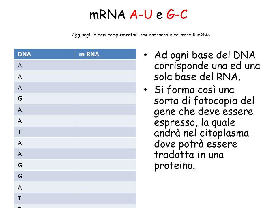 mRNA A-U e G-C Aggiungi le basi complementari che andranno a formare il mRNA DNAm RNA A A A G A A T A A G G A T T A T C C A A T T C A T C A A T Ad ogn