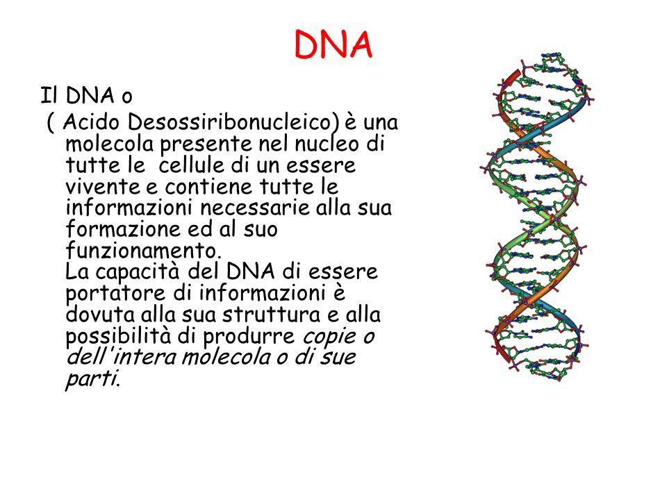 DNA Il DNA o ( Acido Desossiribonucleico) è una molecola presente nel nucleo di tutte le cellule di un essere vivente e contiene tutte le informazioni necessarie alla sua formazione ed al suo funzionamento.