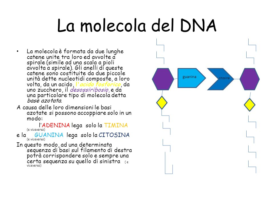 La molecola del DNA La molecola è formata da due lunghe catene unite tra loro ed avvolte a spirale (simile ad una scala a pioli avvolta a spirale).