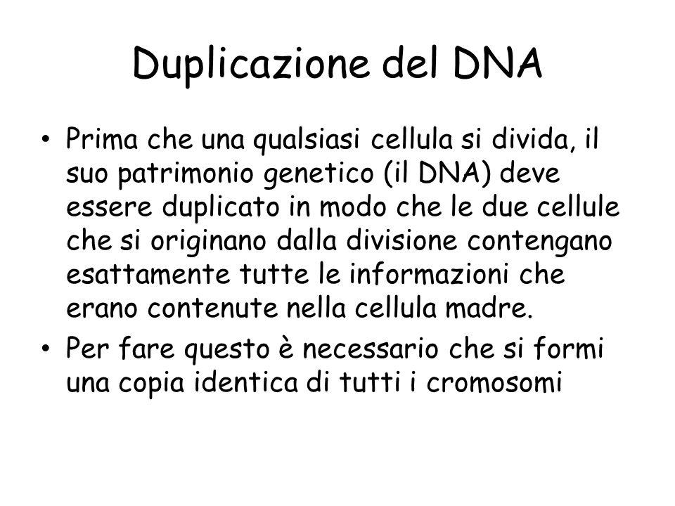 Duplicazione del DNA Prima che una qualsiasi cellula si divida, il suo patrimonio genetico (il DNA) deve essere duplicato in modo che le due cellule che si originano dalla divisione contengano esattamente tutte le informazioni che erano contenute nella cellula madre.