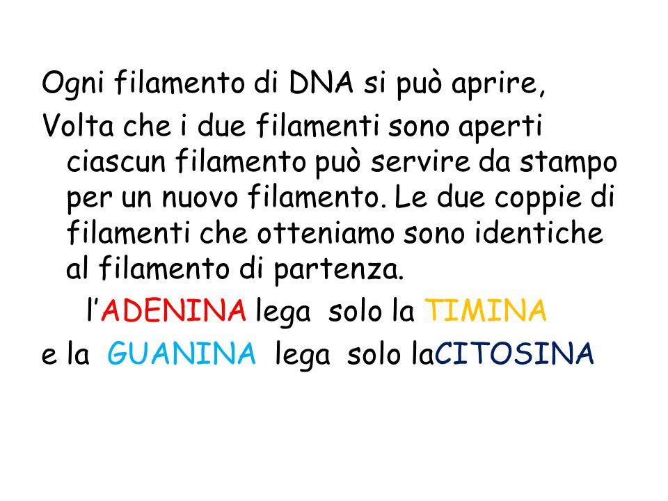 Ogni filamento di DNA si può aprire, Volta che i due filamenti sono aperti ciascun filamento può servire da stampo per un nuovo filamento. Le due copp