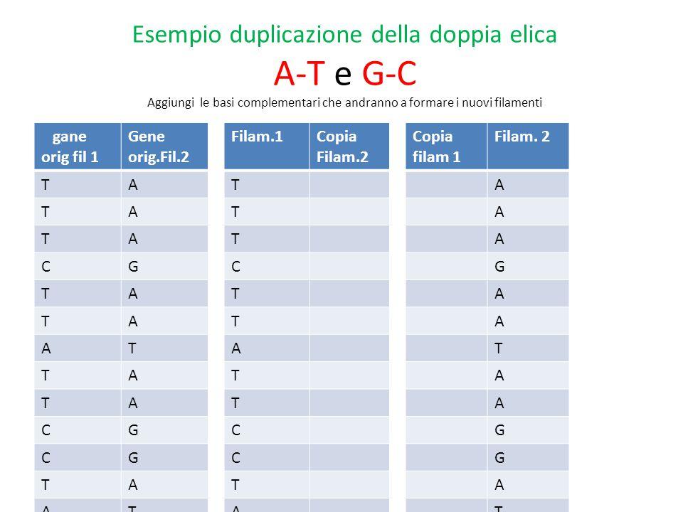 Esempio duplicazione della doppia elica A-T e G-C Aggiungi le basi complementari che andranno a formare i nuovi filamenti gane orig fil 1 Gene orig.Fil.2 TA TA TA CG TA TA AT TA TA CG CG TA AT AT TA AT GC GC TA TA AT AT GC TA AT GC TA TA AT TA GC AT Filam.1Copia Filam.2 T T T C T T A T T C C T A A T A G G T T A A G T A G T T A T G A Copia filam 1 Filam.