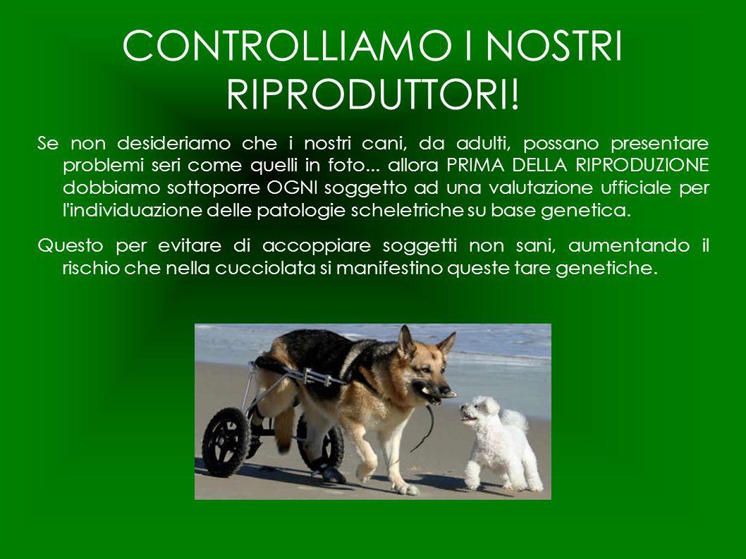 CONTROLLIAMO I NOSTRI RIPRODUTTORI! Se non desideriamo che i nostri cani, da adulti, possano presentare problemi seri come quelli in foto... allora PR