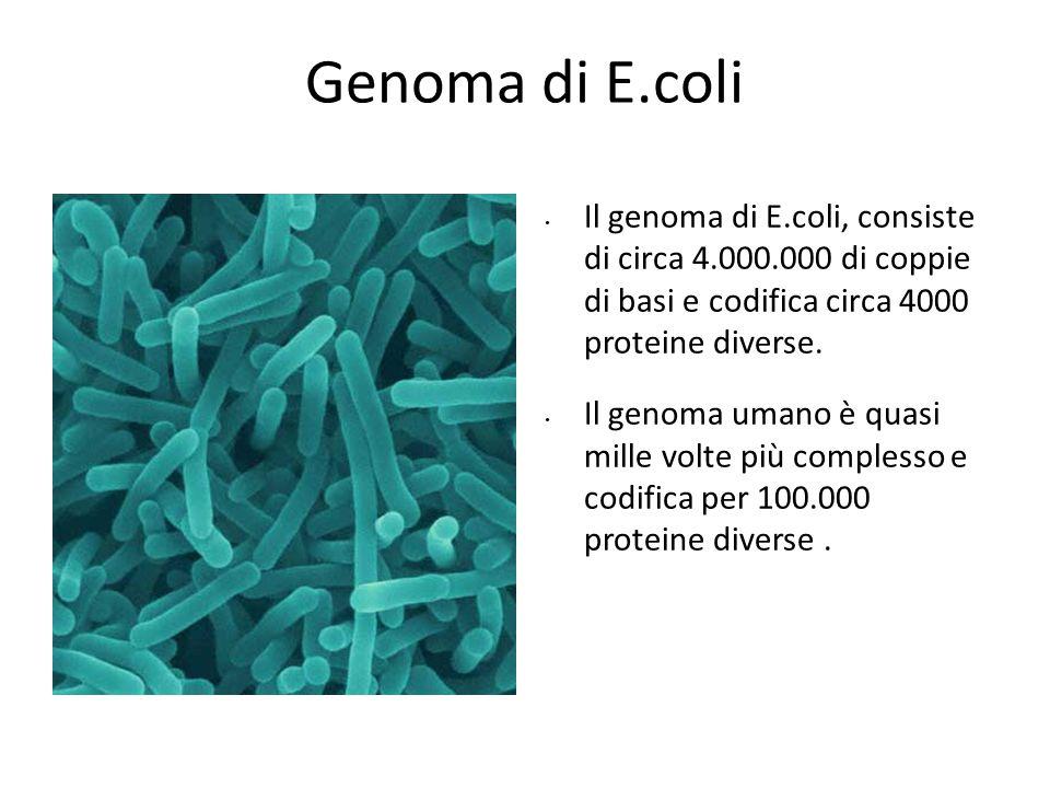 Modello sperimentaleGenoma di E.coli Il genoma di E.coli, consiste di circa 4.000.000 di coppie di basi e codifica circa 4000 proteine diverse. Il gen