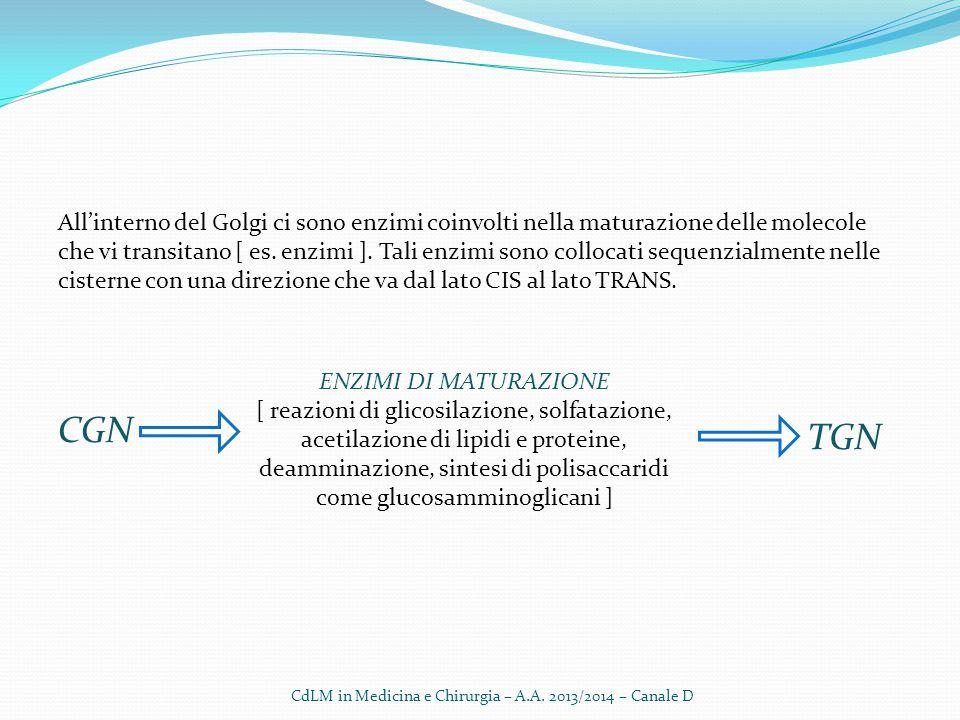 All'interno del Golgi ci sono enzimi coinvolti nella maturazione delle molecole che vi transitano [ es. enzimi ]. Tali enzimi sono collocati sequenzia