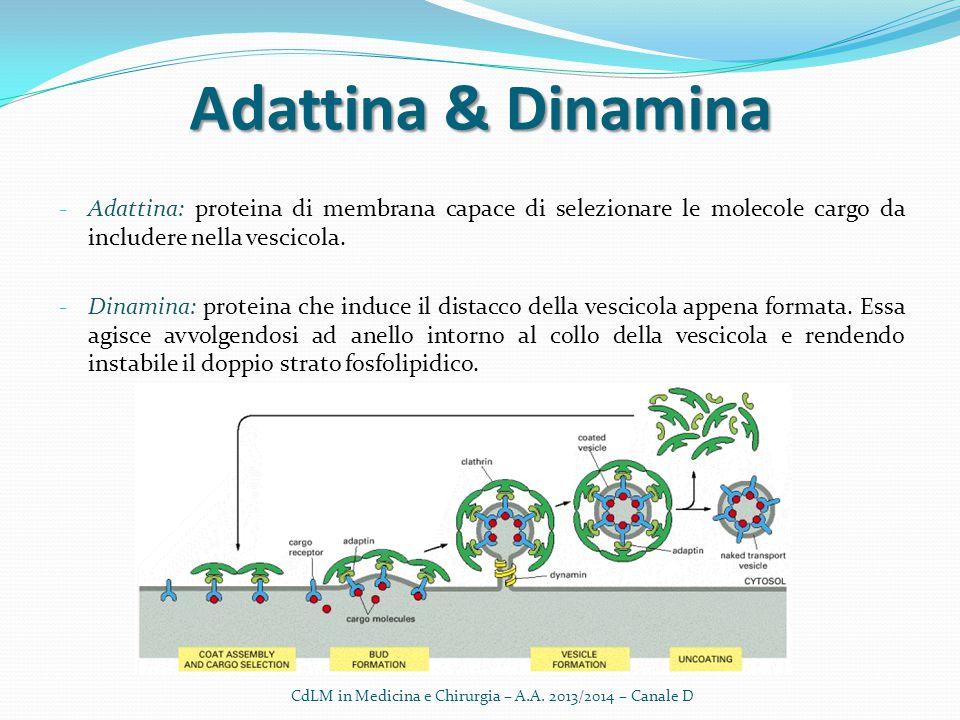 Adattina & Dinamina - Adattina: proteina di membrana capace di selezionare le molecole cargo da includere nella vescicola. - Dinamina: proteina che in