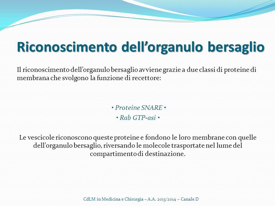 Riconoscimento dell'organulo bersaglio Il riconoscimento dell'organulo bersaglio avviene grazie a due classi di proteine di membrana che svolgono la f