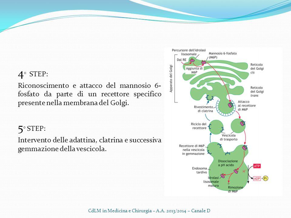 4 ° STEP: Riconoscimento e attacco del mannosio 6- fosfato da parte di un recettore specifico presente nella membrana del Golgi. 5 ° STEP: Intervento
