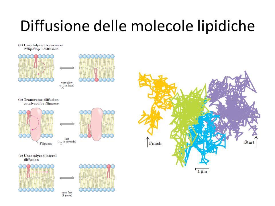 Diffusione delle molecole lipidiche