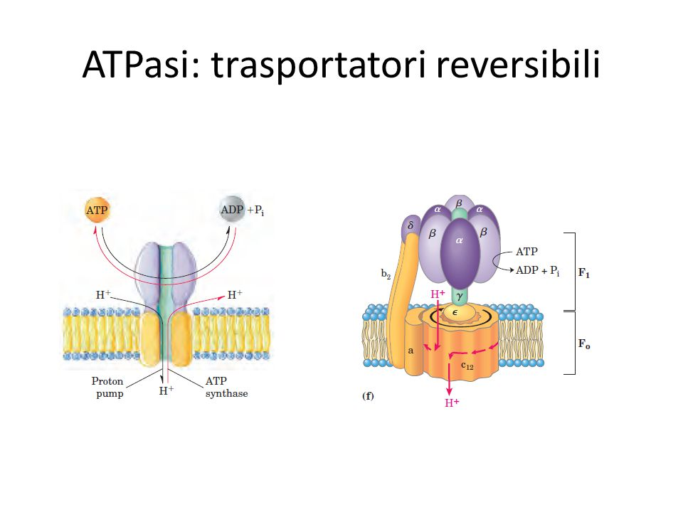 ATPasi: trasportatori reversibili