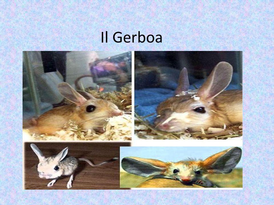 Il Gerboa