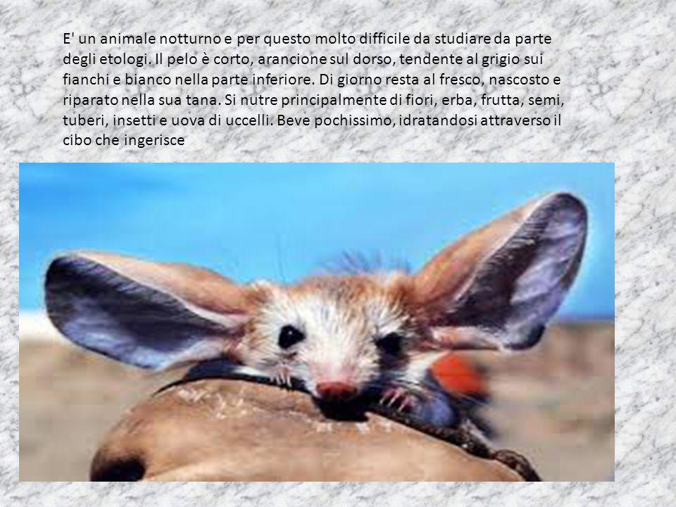 E' un animale notturno e per questo molto difficile da studiare da parte degli etologi. Il pelo è corto, arancione sul dorso, tendente al grigio sui f
