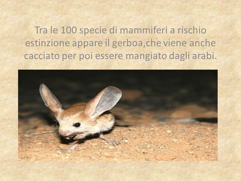 Tra le 100 specie di mammiferi a rischio estinzione appare il gerboa,che viene anche cacciato per poi essere mangiato dagli arabi.