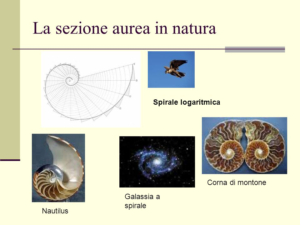 La sezione aurea in natura Spirale logaritmica Nautilus Galassia a spirale Corna di montone