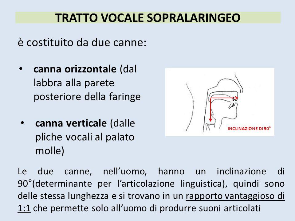è costituito da due canne: TRATTO VOCALE SOPRALARINGEO canna orizzontale (dal labbra alla parete posteriore della faringe canna verticale (dalle plich