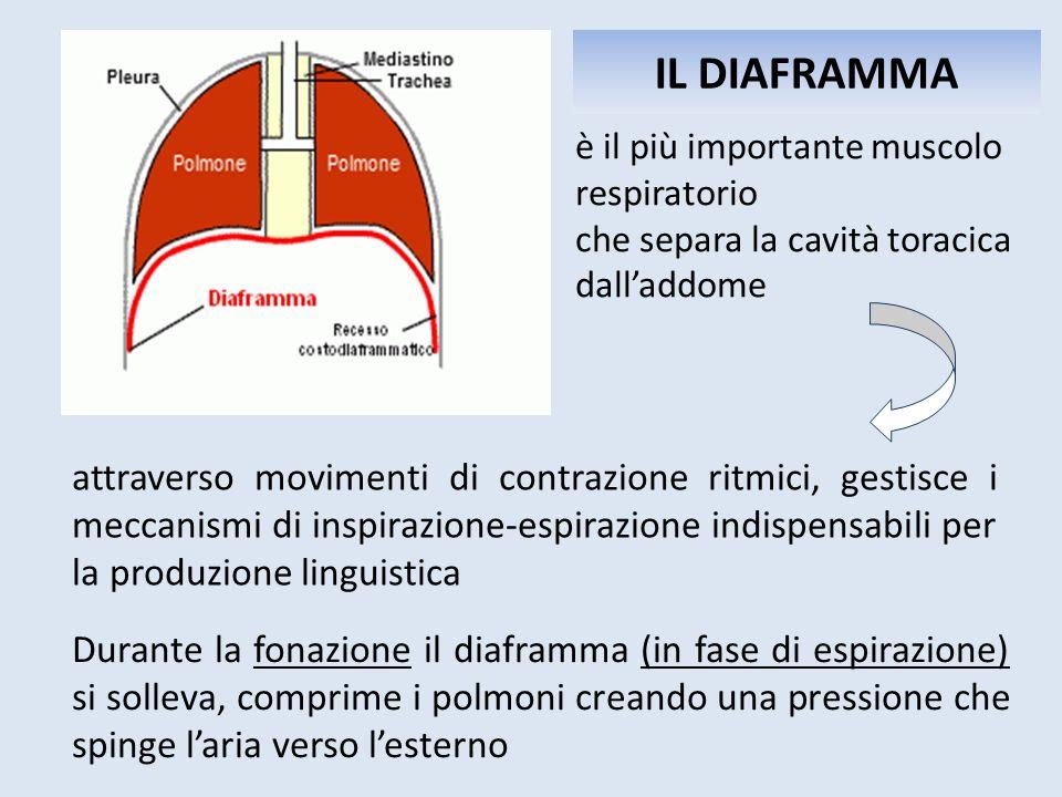 IL DIAFRAMMA è il più importante muscolo respiratorio che separa la cavità toracica dall'addome Durante la fonazione il diaframma (in fase di espirazi