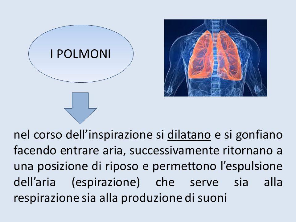 L'aria espirata dai polmoni per risalire verso la laringe, arriva ai bronchi, e da qui attraverso due condotti risale verso la parte superiore del torace giungendo alla trachea I BRONCHI