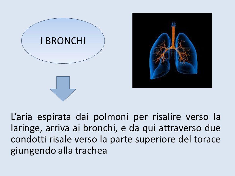 L'aria espirata dai polmoni per risalire verso la laringe, arriva ai bronchi, e da qui attraverso due condotti risale verso la parte superiore del tor