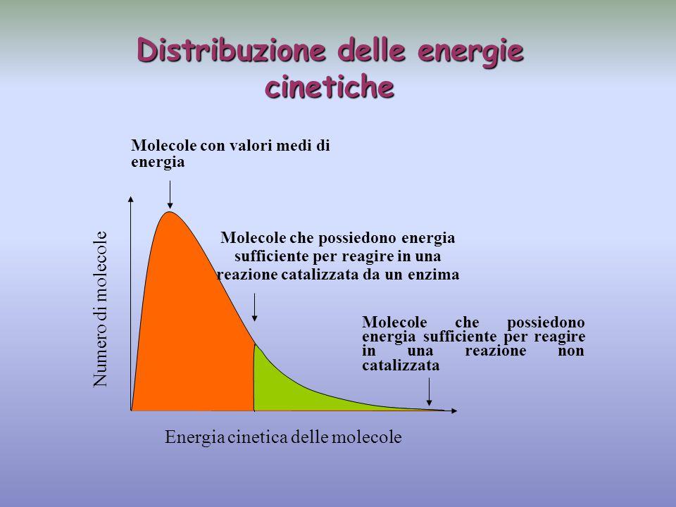 Numero di molecole Energia cinetica delle molecole Molecole con valori medi di energia Molecole che possiedono energia sufficiente per reagire in una reazione catalizzata da un enzima Molecole che possiedono energia sufficiente per reagire in una reazione non catalizzata Distribuzione delle energie cinetiche