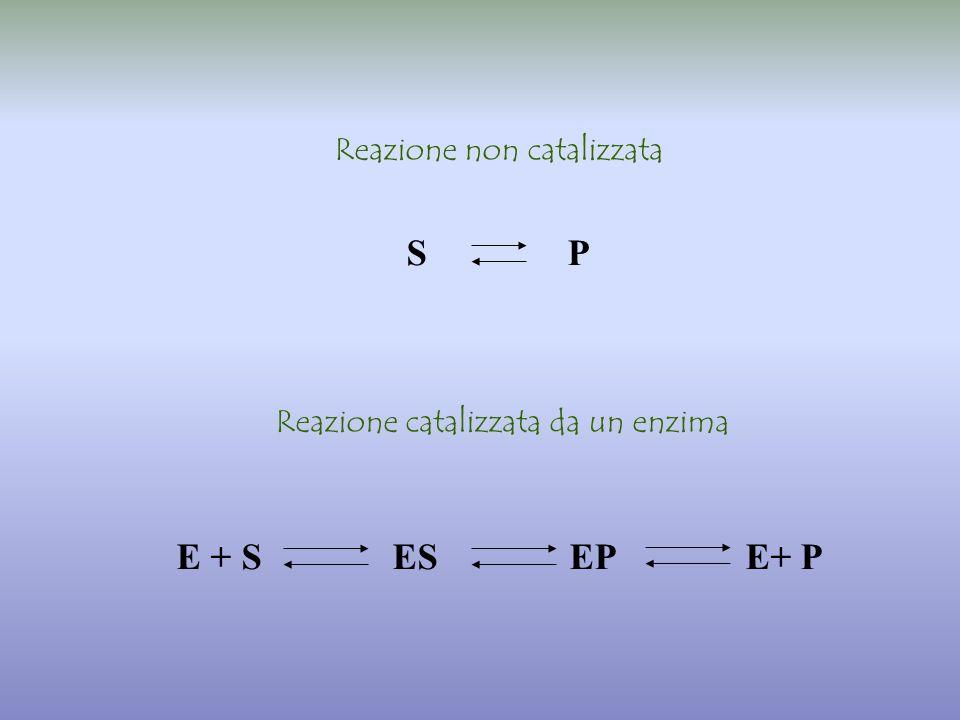 E + S ES EP E+ P S P Reazione non catalizzata Reazione catalizzata da un enzima