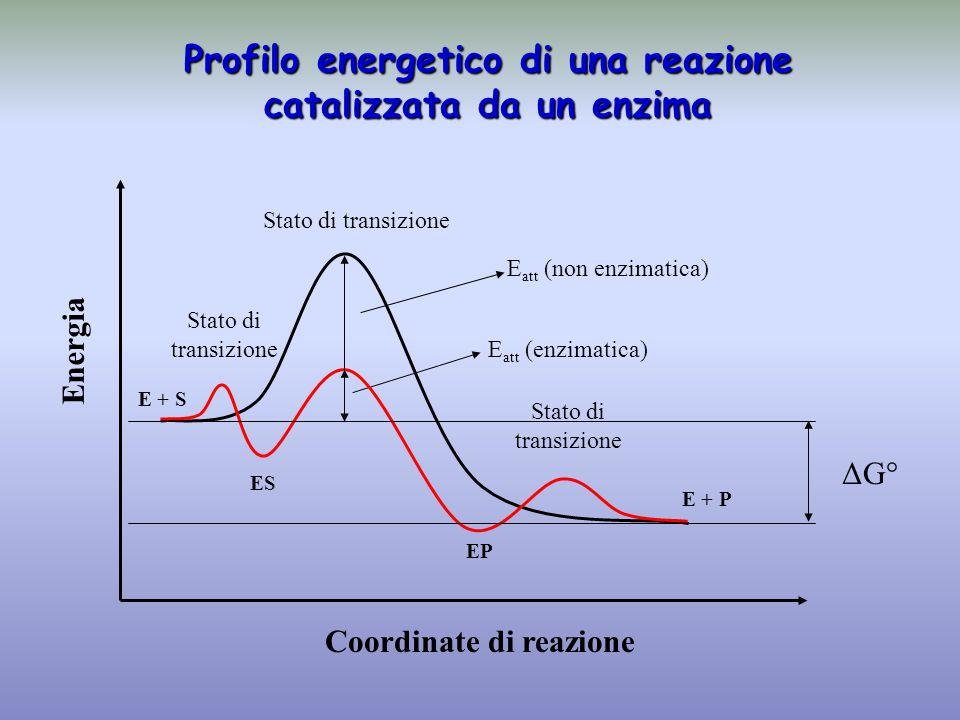 Energia Coordinate di reazione E + S ES EP E + P Stato di transizione ΔG° Stato di transizione Stato di transizione E att (enzimatica) E att (non enzi
