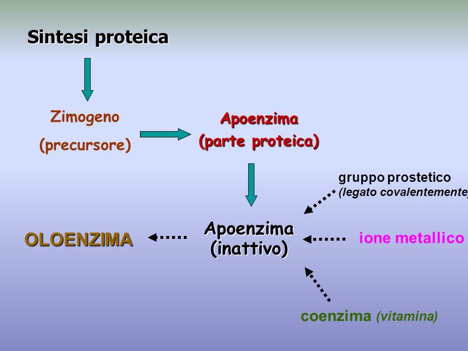 Sintesi proteica Zimogeno (precursore) Apoenzima (parte proteica) OLOENZIMA coenzima (vitamina) ione metallico gruppo prostetico (legato covalentement