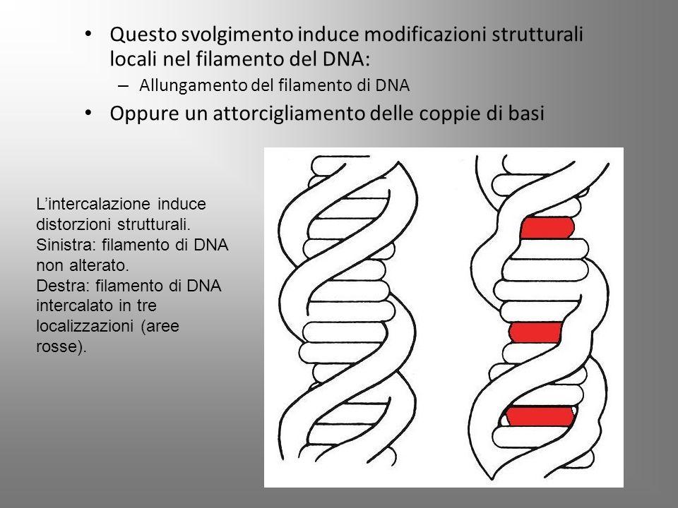 Questo svolgimento induce modificazioni strutturali locali nel filamento del DNA: – Allungamento del filamento di DNA Oppure un attorcigliamento delle coppie di basi L'intercalazione induce distorzioni strutturali.