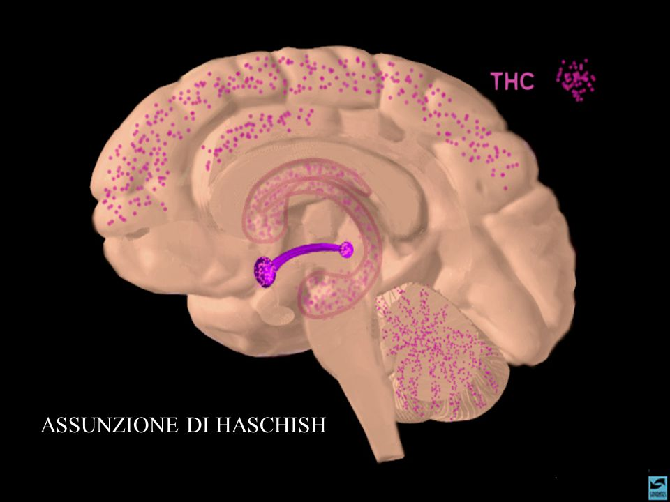 EFFETTI PSICOLOGICI PRODOTTI DALLA ASSUNZIONE DI DERIVATI DELLA CANNABIS INDICA A BREVE TERMINE Aumento delle sensibilità sensoriali; gusto, olfatto e udito Loquacità, rilassamento e benessere Stato di debolezza euforia e disinibizione