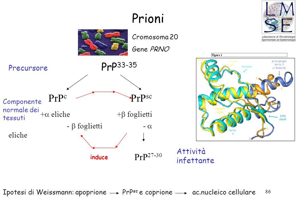 86 Prioni Precursore PrP 33-35 PrP c PrP sc +  eliche +  foglietti -  foglietti -  eliche Cromosoma 20 Gene PRNO induce Componente normale dei tes