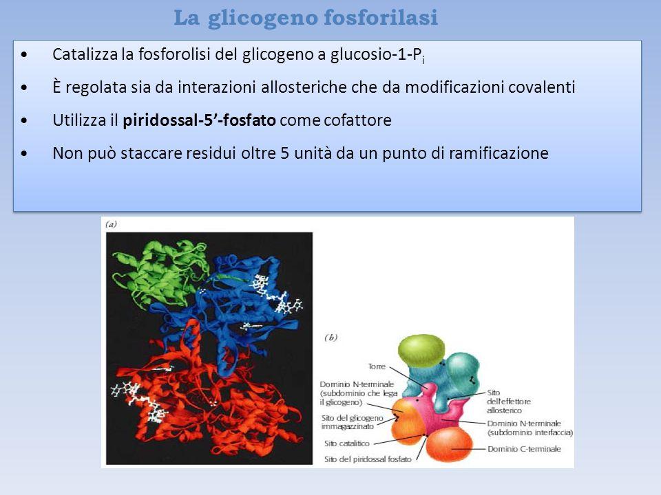 La glicogeno fosforilasi Catalizza la fosforolisi del glicogeno a glucosio-1-P i È regolata sia da interazioni allosteriche che da modificazioni covalenti Utilizza il piridossal-5'-fosfato come cofattore Non può staccare residui oltre 5 unità da un punto di ramificazione Catalizza la fosforolisi del glicogeno a glucosio-1-P i È regolata sia da interazioni allosteriche che da modificazioni covalenti Utilizza il piridossal-5'-fosfato come cofattore Non può staccare residui oltre 5 unità da un punto di ramificazione