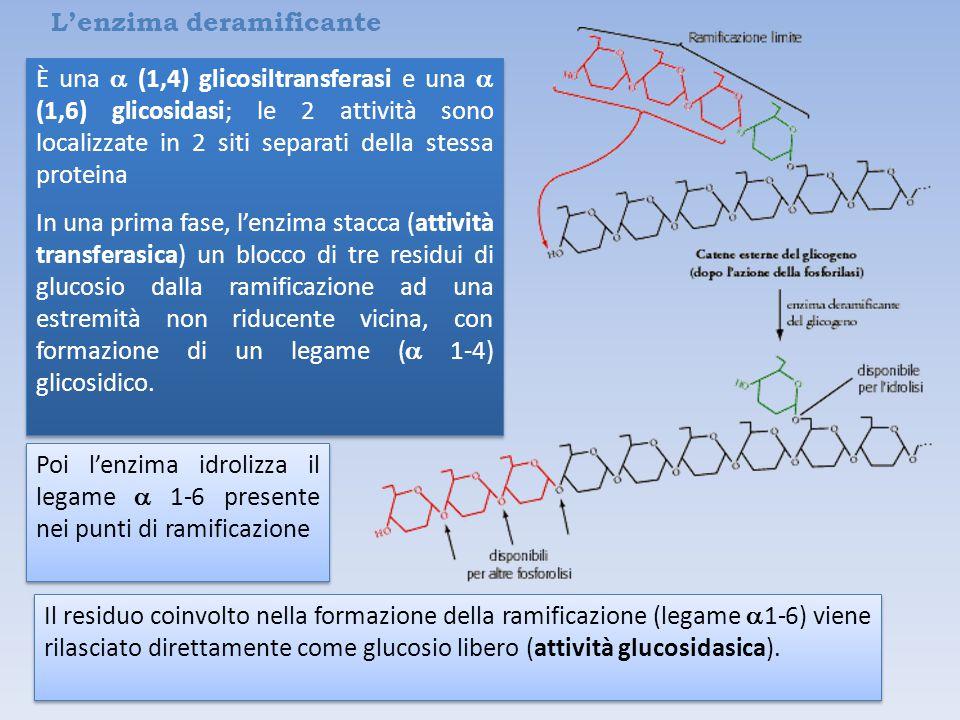L'enzima deramificante È una  (1,4) glicosiltransferasi e una  (1,6) glicosidasi; le 2 attività sono localizzate in 2 siti separati della stessa proteina In una prima fase, l'enzima stacca (attività transferasica) un blocco di tre residui di glucosio dalla ramificazione ad una estremità non riducente vicina, con formazione di un legame (  1-4) glicosidico.