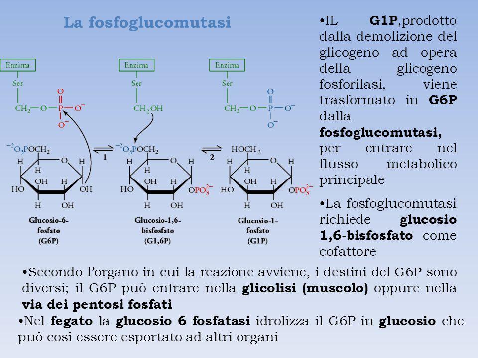 La fosfoglucomutasi IL G1P,prodotto dalla demolizione del glicogeno ad opera della glicogeno fosforilasi, viene trasformato in G6P dalla fosfoglucomutasi, per entrare nel flusso metabolico principale La fosfoglucomutasi richiede glucosio 1,6-bisfosfato come cofattore Nel fegato la glucosio 6 fosfatasi idrolizza il G6P in glucosio che può così essere esportato ad altri organi Secondo l'organo in cui la reazione avviene, i destini del G6P sono diversi; il G6P può entrare nella glicolisi (muscolo) oppure nella via dei pentosi fosfati