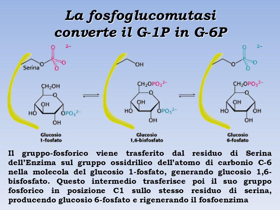 La fosfoglucomutasi converte il G-1P in G-6P Il gruppo-fosforico viene trasferito dal residuo di Serina dell'Enzima sul gruppo ossidrilico dell'atomo di carbonio C-6 nella molecola del glucosio 1-fosfato, generando glucosio 1,6- bisfosfato.