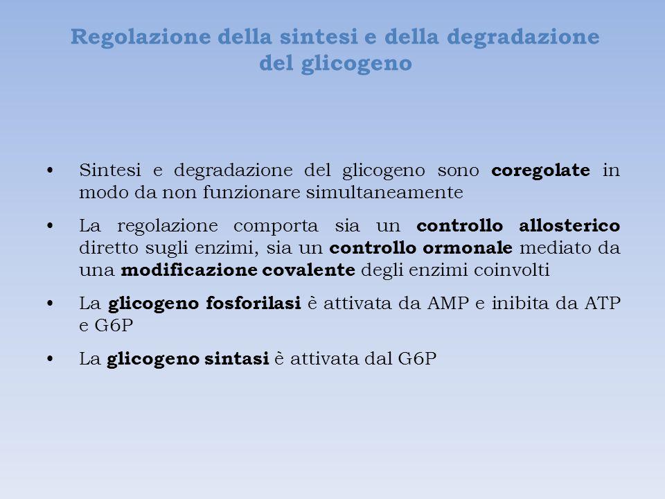 Regolazione della sintesi e della degradazione del glicogeno Sintesi e degradazione del glicogeno sono coregolate in modo da non funzionare simultaneamente La regolazione comporta sia un controllo allosterico diretto sugli enzimi, sia un controllo ormonale mediato da una modificazione covalente degli enzimi coinvolti La glicogeno fosforilasi è attivata da AMP e inibita da ATP e G6P La glicogeno sintasi è attivata dal G6P