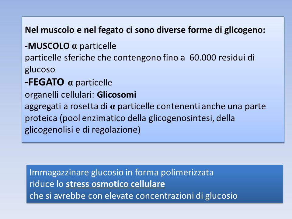 Nel muscolo e nel fegato ci sono diverse forme di glicogeno: -MUSCOLO α particelle particelle sferiche che contengono fino a 60.000 residui di glucoso -FEGATO α particelle organelli cellulari: Glicosomi aggregati a rosetta di α particelle contenenti anche una parte proteica (pool enzimatico della glicogenosintesi, della glicogenolisi e di regolazione) Nel muscolo e nel fegato ci sono diverse forme di glicogeno: -MUSCOLO α particelle particelle sferiche che contengono fino a 60.000 residui di glucoso -FEGATO α particelle organelli cellulari: Glicosomi aggregati a rosetta di α particelle contenenti anche una parte proteica (pool enzimatico della glicogenosintesi, della glicogenolisi e di regolazione) Immagazzinare glucosio in forma polimerizzata riduce lo stress osmotico cellulare che si avrebbe con elevate concentrazioni di glucosio Immagazzinare glucosio in forma polimerizzata riduce lo stress osmotico cellulare che si avrebbe con elevate concentrazioni di glucosio