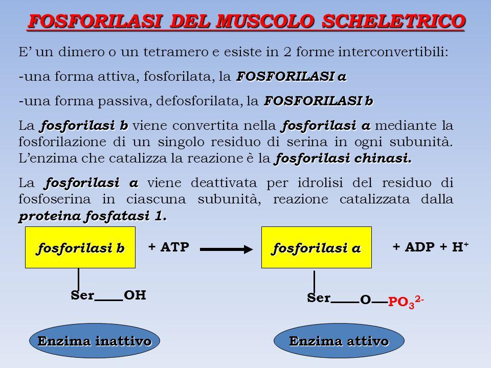 FOSFORILASI DEL MUSCOLO SCHELETRICO E' un dimero o un tetramero e esiste in 2 forme interconvertibili: FOSFORILASI a -una forma attiva, fosforilata, la FOSFORILASI a FOSFORILASI b -una forma passiva, defosforilata, la FOSFORILASI b fosforilasi b fosforilasi a fosforilasi chinasi.
