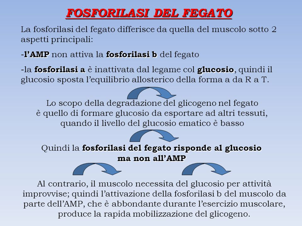 FOSFORILASI DEL FEGATO La fosforilasi del fegato differisce da quella del muscolo sotto 2 aspetti principali: l'AMPfosforilasi b - l'AMP non attiva la fosforilasi b del fegato fosforilasi aglucosio -la fosforilasi a è inattivata dal legame col glucosio, quindi il glucosio sposta l'equilibrio allosterico della forma a da R a T.
