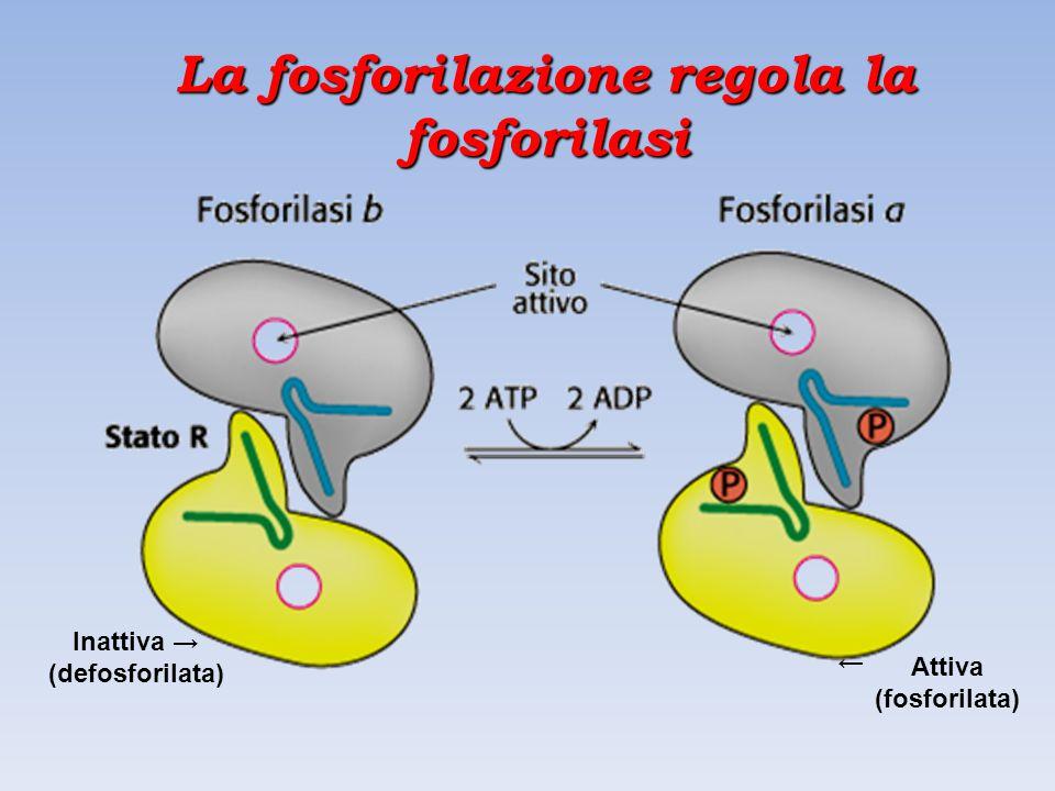 La fosforilazione regola la fosforilasi Inattiva → (defosforilata) → Attiva (fosforilata)