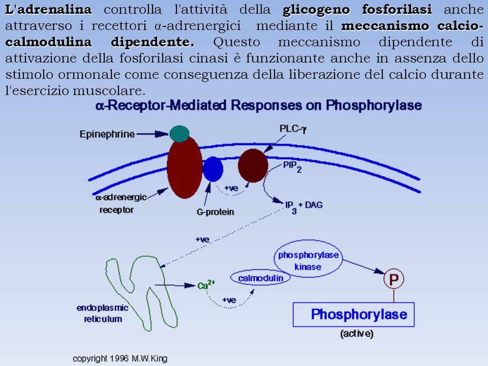 L adrenalinaglicogeno fosforilasi meccanismo calcio- calmodulina dipendente.