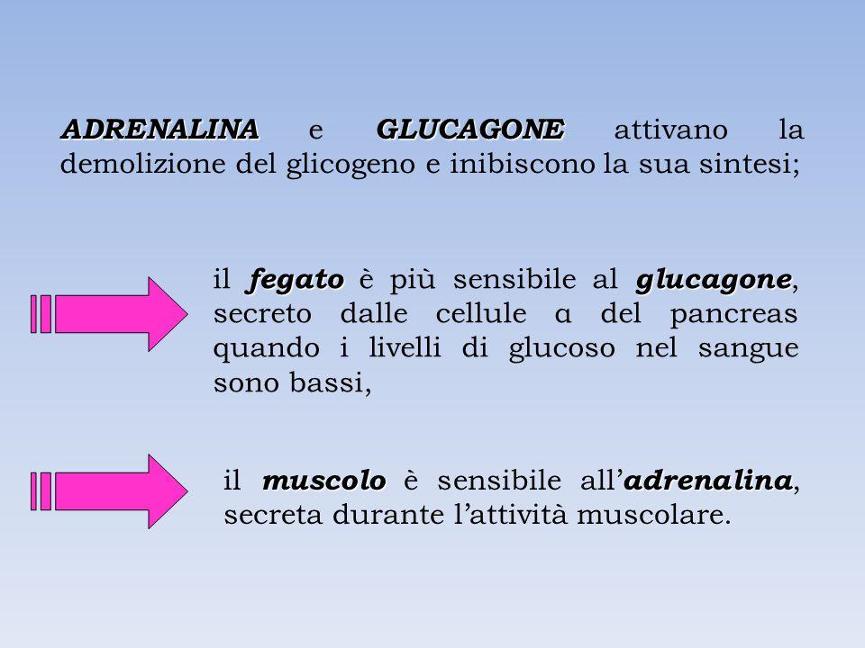 ADRENALINAGLUCAGONE ADRENALINA e GLUCAGONE attivano la demolizione del glicogeno e inibiscono la sua sintesi; fegatoglucagone il fegato è più sensibile al glucagone, secreto dalle cellule α del pancreas quando i livelli di glucoso nel sangue sono bassi, muscoloadrenalina il muscolo è sensibile all' adrenalina, secreta durante l'attività muscolare.