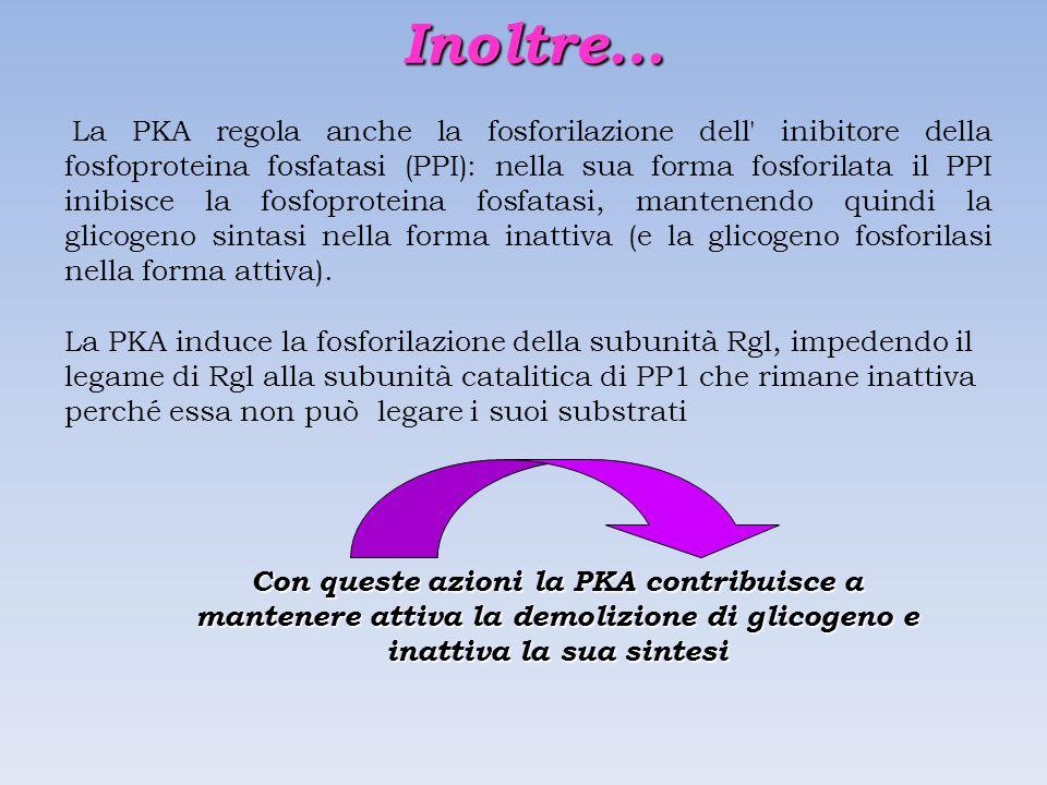 La PKA regola anche la fosforilazione dell inibitore della fosfoproteina fosfatasi (PPI): nella sua forma fosforilata il PPI inibisce la fosfoproteina fosfatasi, mantenendo quindi la glicogeno sintasi nella forma inattiva (e la glicogeno fosforilasi nella forma attiva).