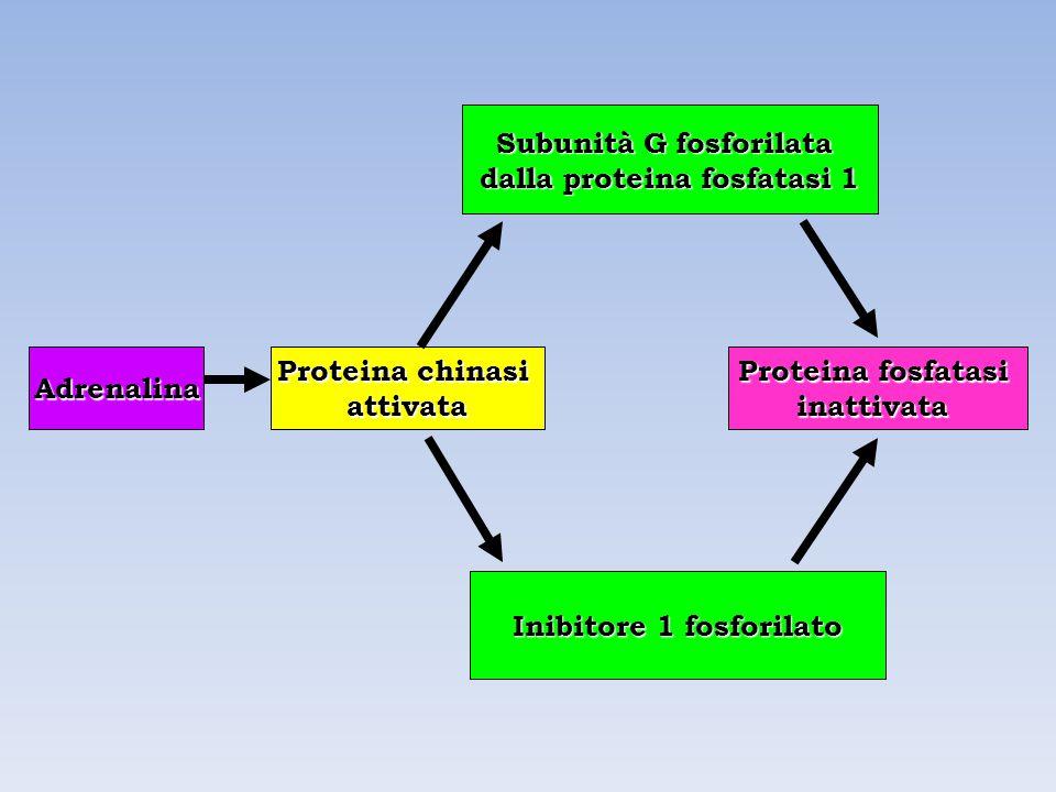 Adrenalina Proteina chinasi attivata Proteina fosfatasi inattivata Subunità G fosforilata dalla proteina fosfatasi 1 Inibitore 1 fosforilato
