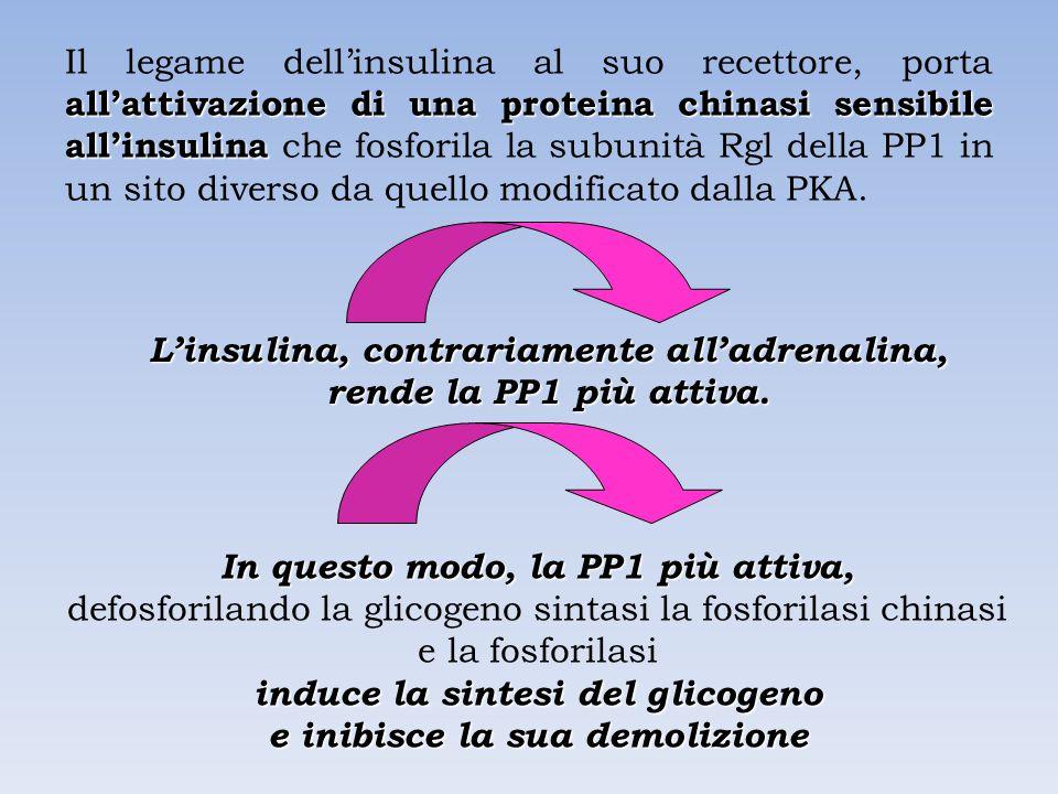 all'attivazione di una proteina chinasi sensibile all'insulina Il legame dell'insulina al suo recettore, porta all'attivazione di una proteina chinasi sensibile all'insulina che fosforila la subunità Rgl della PP1 in un sito diverso da quello modificato dalla PKA.