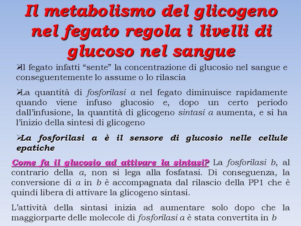 Il metabolismo del glicogeno nel fegato regola i livelli di glucoso nel sangue  Il fegato infatti sente la concentrazione di glucosio nel sangue e conseguentemente lo assume o lo rilascia  La quantità di fosforilasi a nel fegato diminuisce rapidamente quando viene infuso glucosio e, dopo un certo periodo dall'infusione, la quantità di glicogeno sintasi a aumenta, e si ha l'inizio della sintesi di glicogeno  La fosforilasi a è il sensore di glucosio nelle cellule epatiche Come fa il glucosio ad attivare la sintasi.