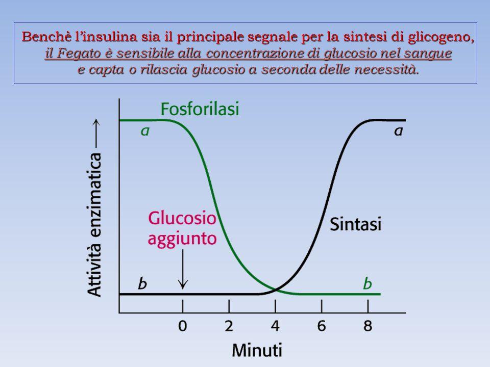 Benchè l'insulina sia il principale segnale per la sintesi di glicogeno, il Fegato è sensibile alla concentrazione di glucosio nel sangue e capta o rilascia glucosio a seconda delle necessità.