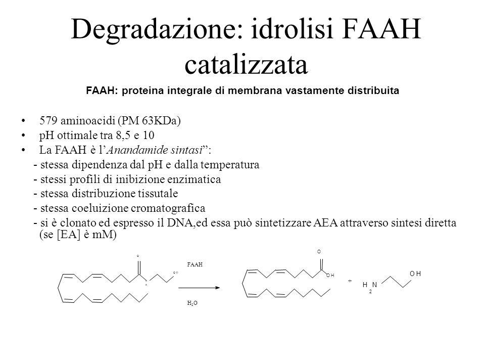"""Degradazione: idrolisi FAAH catalizzata 579 aminoacidi (PM 63KDa) pH ottimale tra 8,5 e 10 La FAAH è l'Anandamide sintasi"""": - stessa dipendenza dal pH"""