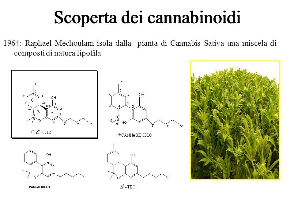 Scoperta dei cannabinoidi 1964: Raphael Mechoulam isola dalla pianta di Cannabis Sativa una miscela di composti di natura lipofila Scoperta dei cannab
