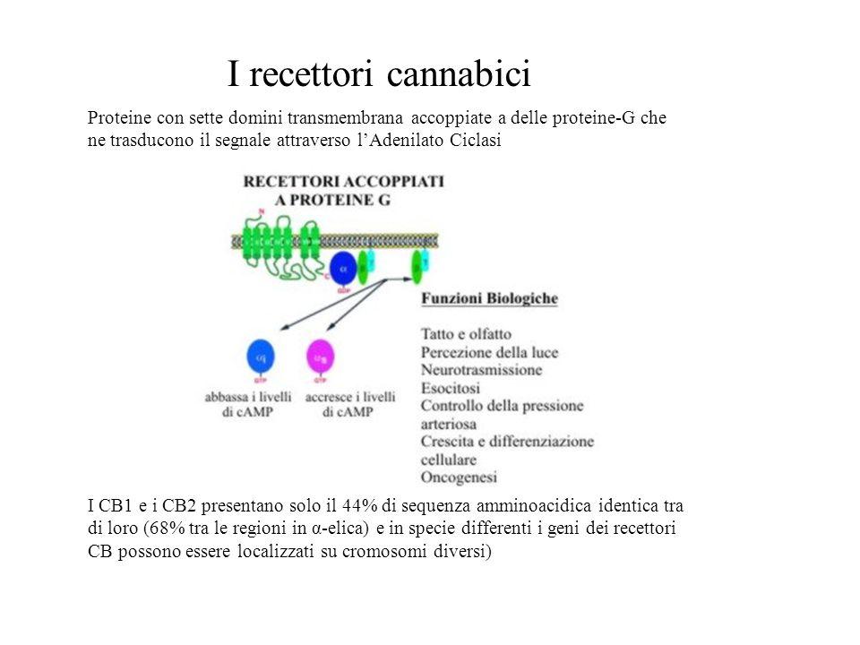 I recettori cannabici Proteine con sette domini transmembrana accoppiate a delle proteine-G che ne trasducono il segnale attraverso l'Adenilato Ciclas