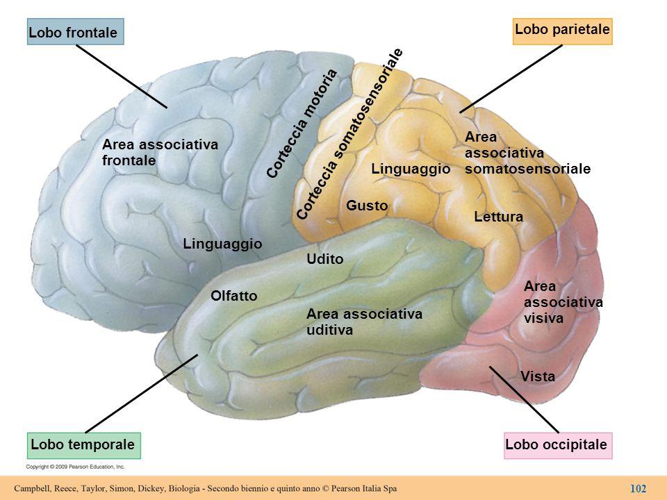 Lobo frontale Lobo parietale Lobo temporaleLobo occipitale Area associativa frontale Area associativa somatosensoriale Area associativa visiva Area as